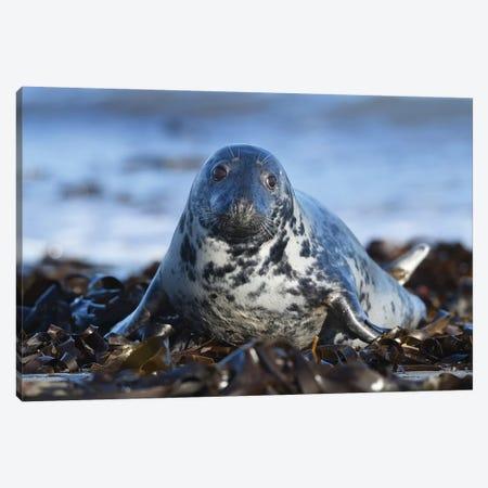 Grey Seal Canvas Print #ELM50} by Elmar Weiss Art Print