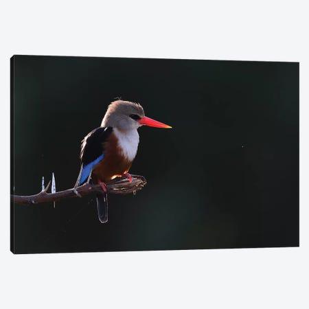Grey-Headed Kingfisher Backlight Canvas Print #ELM52} by Elmar Weiss Canvas Art Print