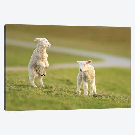 Jumping Lamb Canvas Print #ELM68} by Elmar Weiss Canvas Wall Art