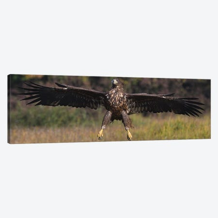 Landing White-Tailed Eagle Canvas Print #ELM75} by Elmar Weiss Canvas Wall Art