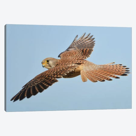 Lesser Kestrel In Flight Canvas Print #ELM78} by Elmar Weiss Canvas Art Print