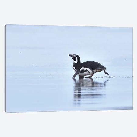 Magellanic Penguin On The Run Canvas Print #ELM83} by Elmar Weiss Canvas Artwork