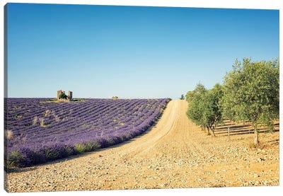 Lavender Vs Olive Trees Canvas Art Print