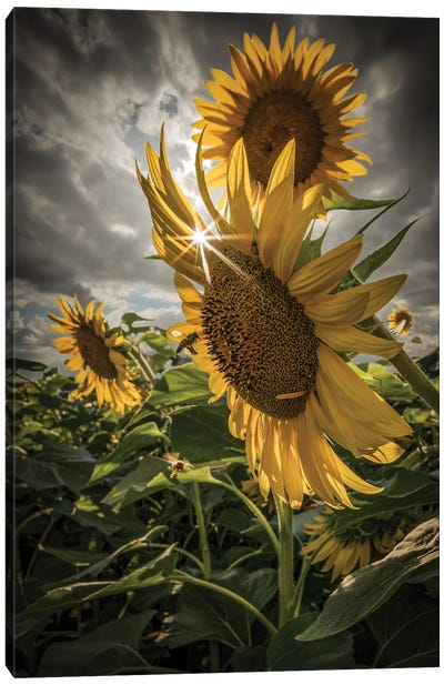 Girasoli Canvas Art Print
