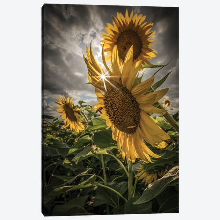 Girasoli 3-Piece Canvas #ENZ112} by Enzo Romano Canvas Artwork