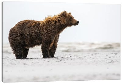 Bear In The Water Canvas Art Print