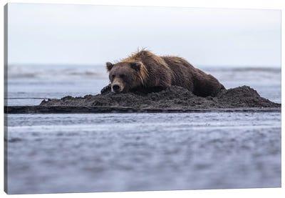 Bear Napping On Beach Canvas Art Print