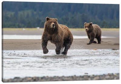 Bear On The Hunt Canvas Art Print