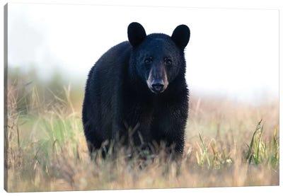 Black Bear Cub Canvas Art Print
