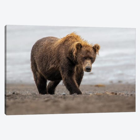 Brown Bear Walk Canvas Print #ERF20} by Eric Fisher Canvas Art Print