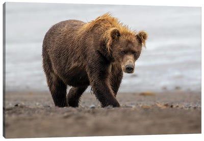 Brown Bear Walk Canvas Art Print