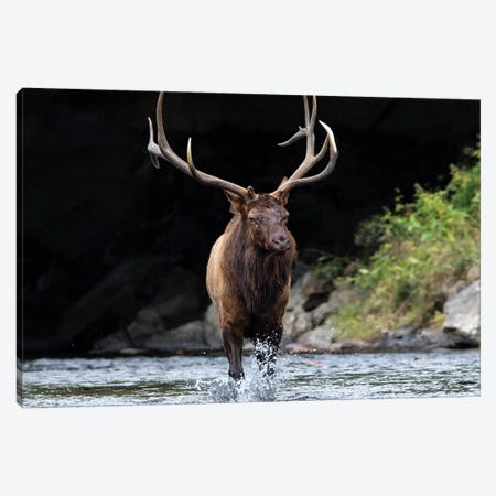 Bull Elk In The Water Canvas Print #ERF21} by Eric Fisher Canvas Print