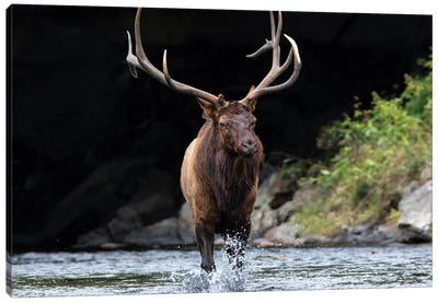 Bull Elk In The Water Canvas Art Print