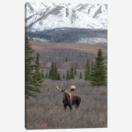Denali Moose With Snow Canvas Print #ERF24} by Eric Fisher Canvas Artwork