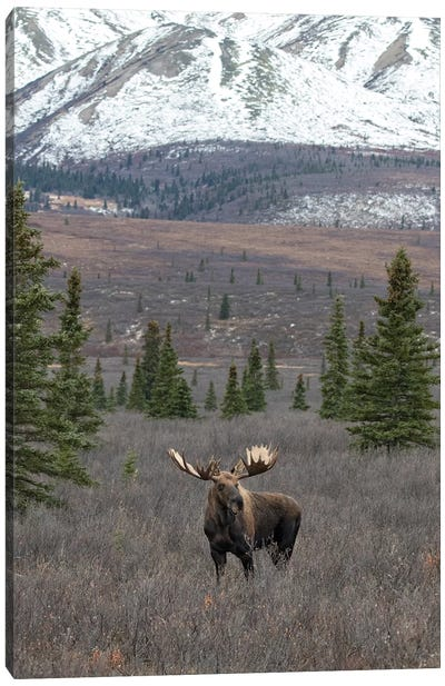 Denali Moose With Snow Canvas Art Print