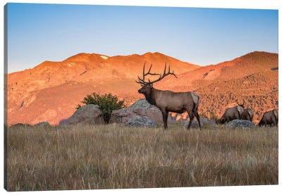 Elk In The Rocky Mountains Canvas Art Print