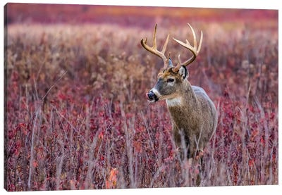 Fall Buck Deer Canvas Art Print