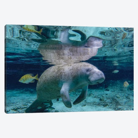 Florida Manatee Canvas Print #ERF29} by Eric Fisher Canvas Art Print