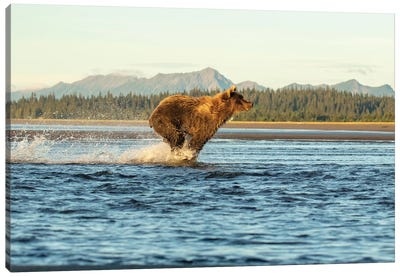 Alaska Bear Running Canvas Art Print