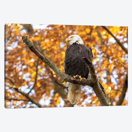 Golden Bald Eagle Canvas Print #ERF30} by Eric Fisher Canvas Artwork