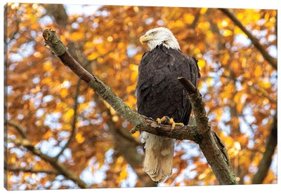 Golden Bald Eagle Canvas Art Print