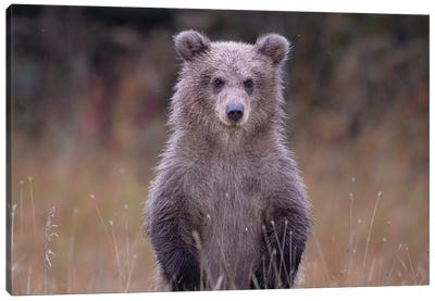 Grizzly Bear Cub In Alaska Canvas Art Print