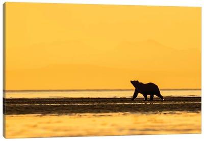 Grizzly Bear Golden Canvas Art Print