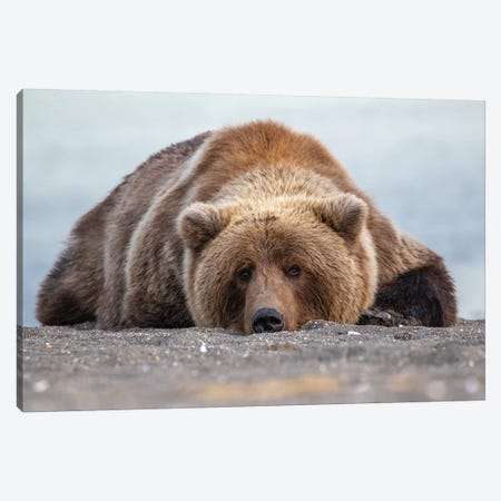 Grizzly Bear In Alaska Canvas Print #ERF36} by Eric Fisher Canvas Print