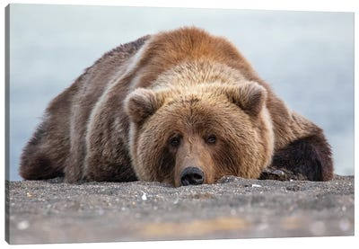 Grizzly Bear In Alaska Canvas Art Print