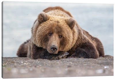 Grizzly Bear Look Canvas Art Print