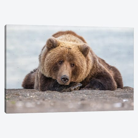Grizzly Bear Look Canvas Print #ERF37} by Eric Fisher Canvas Print