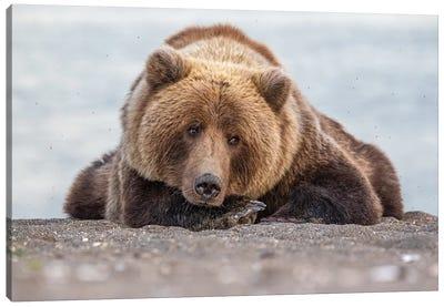 Grizzly Bear Look Canvas Art Print