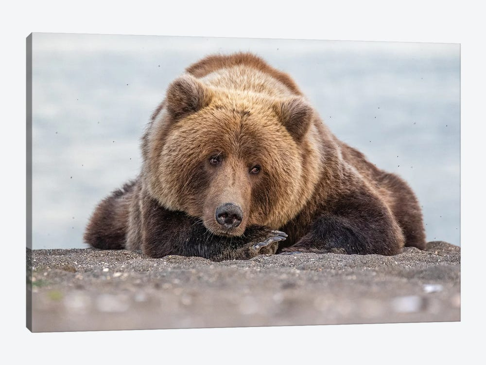 Grizzly Bear Look by Eric Fisher 1-piece Canvas Wall Art
