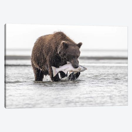 Grizzly Bear With A Salmon Canvas Print #ERF38} by Eric Fisher Canvas Artwork