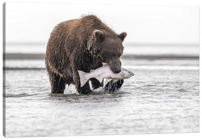 Grizzly Bear With A Salmon Canvas Art Print