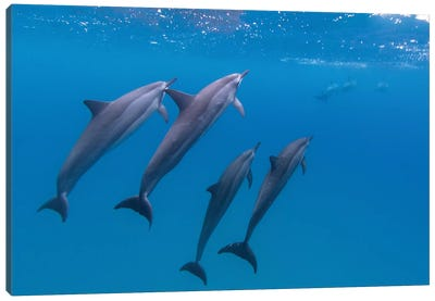 Hawaii Dolphins Swimming Canvas Art Print