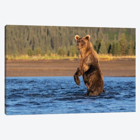 Alaska Bear Standing Canvas Print #ERF3} by Eric Fisher Art Print