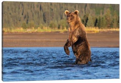 Alaska Bear Standing Canvas Art Print