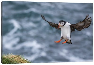 Iceland Puffin Canvas Art Print