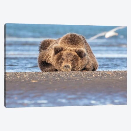 Napping Bear Canvas Print #ERF48} by Eric Fisher Canvas Print
