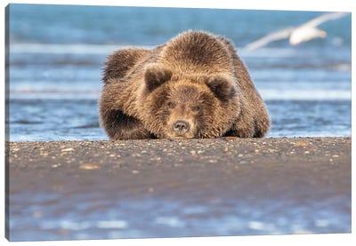 Napping Bear Canvas Art Print