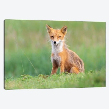 Red Fox In The Grass Canvas Print #ERF50} by Eric Fisher Canvas Artwork