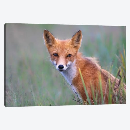Red Fox Look Canvas Print #ERF51} by Eric Fisher Canvas Art