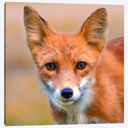 Red Fox Stare Canvas Print #ERF52} by Eric Fisher Canvas Art