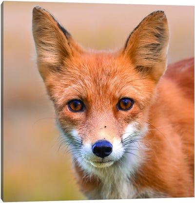 Red Fox Stare Canvas Art Print