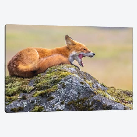 Red Fox Yawn Canvas Print #ERF53} by Eric Fisher Canvas Wall Art