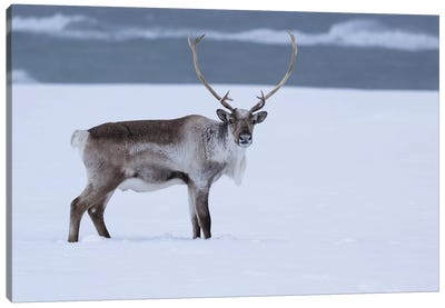 Reindeer In Snow Canvas Art Print
