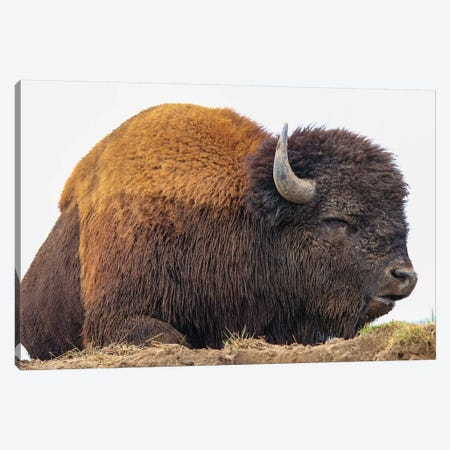 Sleeping Bison Canvas Print #ERF58} by Eric Fisher Canvas Art