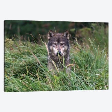 Wolf In Alaska Canvas Print #ERF65} by Eric Fisher Canvas Wall Art