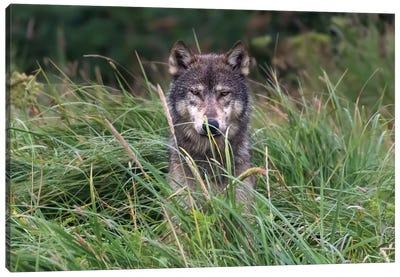 Wolf In Alaska Canvas Art Print